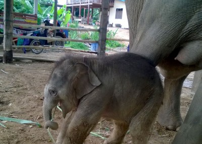 ELEPHANTS,-TEACHING,-CHILDCARE-AND-MEDICAL-IN-SURIN-(26)